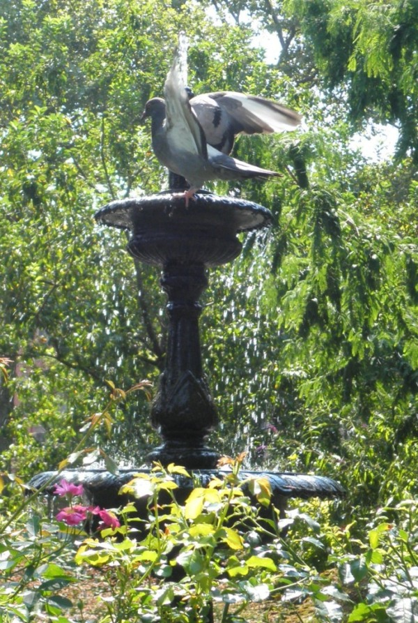Pigeon splashing in a bird bath