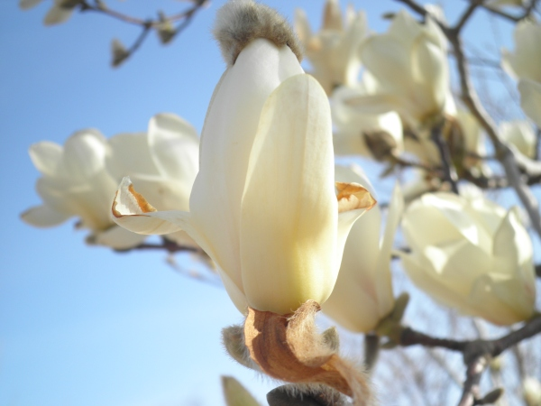 Does the magnolia tree weep?