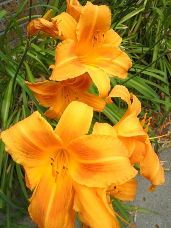 2012-07-07 Daylilies