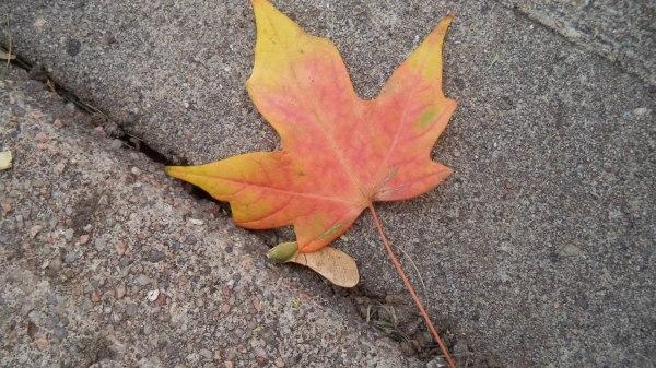 2013-09-19 Autumn Maple Leaf on Sidewalk (1)
