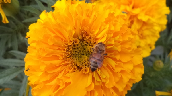 2013-09-22 Marigold and Bee