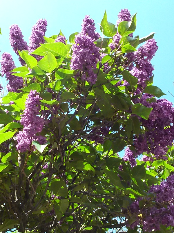 Lilacs 2014-05-06 CAM00901