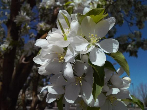 2015-04-07 Apple Blossom
